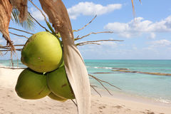 Green coconuts hanging on the tree with the sea in background. Green coconuts hanging on a coconut tree on a tropical caribbean paradise Island with the sea in Stock Images
