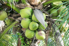Green coconuts nature fruit fresh on tree Stock Images