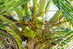 Green coconuts on the palm. Group of fresh green coconuts on the palm tree Royalty Free Stock Photography