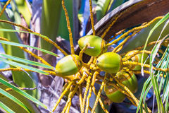 Green coconuts on the palm. Group of fresh green coconuts on the palm tree Stock Photography
