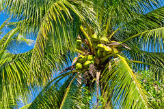 Green coconuts on the palm tree Stock Photos