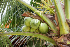 Green coconuts on a palm tree Stock Photo