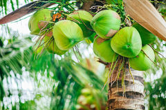 Green coconuts on the palm tree. At the paradise island Stock Photos