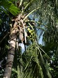 Coconut palm in the Maldives stock image