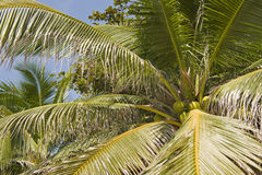 Coconuts in tree Stock Images