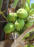 Green coconuts on the palm Royalty Free Stock Photography