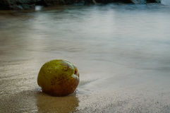 Green coconuts on sand of beach Stock Image