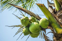 Green coconuts. On tree outdoor Stock Image