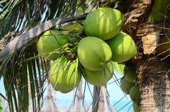 Green coconuts at tree Stock Photo