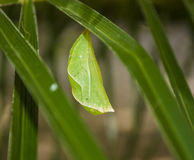 Green Cocoon. A cocoon sits on the underside of a palm leaf beginning the transformation into a beautiful butterfly Stock Photography