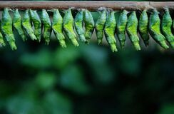 Green Cocoons on Tree Branch Stock Photos