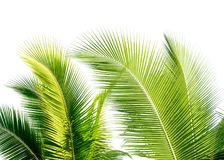 green cocount leaf of  palm tree isolated Stock Photo