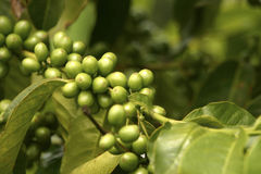 Green Coffe Beans Stock Image