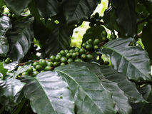 green coffee bean, coffee tree with beans Royalty Free Stock Photos