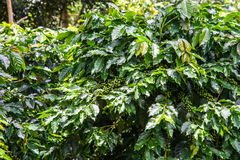 Green coffee bean on tree,Agriculture Stock Photography