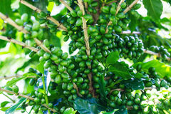 Green coffee' bean on tree Royalty Free Stock Images