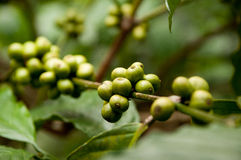 Green coffee beans. On a plantation Stock Image