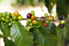 Green coffee beans on branch Royalty Free Stock Photo
