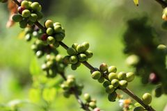 Green coffee beans on a branch of coffee tree in Coffee Plantation stock photo