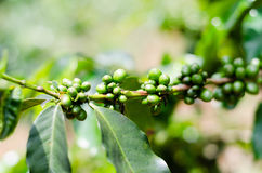 Green Coffee Beans On The Branch in Vietnam Stock Photo