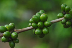 Unripe coffee beans Royalty Free Stock Photos