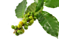 Green coffee beans Royalty Free Stock Photo