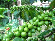 Green coffee beans. Are on the tree royalty free stock images