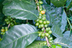 Green coffee beans growing Royalty Free Stock Photos
