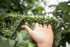 Green coffee beans growing on the branch Stock Image