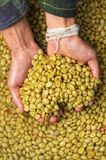 Green coffee beans. In hand Royalty Free Stock Photography