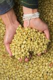 Green coffee beans in hand. For background Stock Image