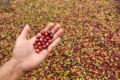 Green coffee beans in hand on red berries coffee Royalty Free Stock Photo