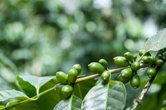 Green coffee beans with leaves on branch at a Royalty Free Stock Image