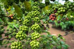 Green coffee beans on tree.  Stock Photography