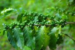 Coffee beans on a coffee tree. Green Coffee beans on a coffee tree close up Royalty Free Stock Images