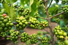 Green coffee beans on tree.  Royalty Free Stock Photos