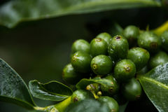 Green Coffee Beans on the Tree. Green coffee beans on a tree at a plantation, soon to be made into delicious coffee Stock Photography
