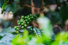 Green coffee beans on tree in vietnam. Green coffee beans on tree in Da Lat,vietnam Stock Images