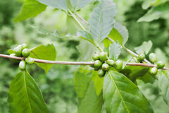 Green coffee berries Royalty Free Stock Image