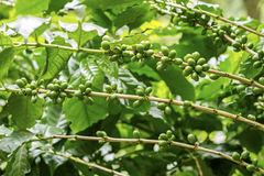 Green coffee berries. Group of green coffee berries growing on branch Royalty Free Stock Photography