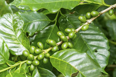 Green coffee berries. Group of green coffee berries growing on branch Royalty Free Stock Photos