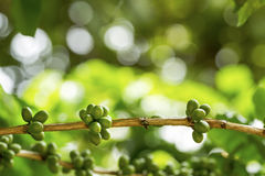 Green coffee berries. Group of green coffee berries growing on branch Stock Photos