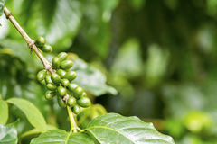 Green coffee berries. Group of green coffee berries growing on branch Stock Images