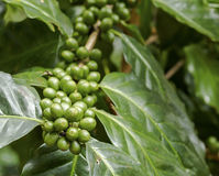Green coffee berries. Group of green coffee berries growing on tree branch Stock Images