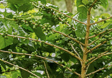 Green coffee berries. Group of green coffee berries growing on tree branch Royalty Free Stock Photo