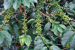 Green coffee bush Stock Photo