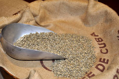 Green coffee cuba. Raw green coffee samples selected for testing Royalty Free Stock Photo