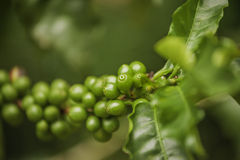 Green Coffee Royalty Free Stock Photo