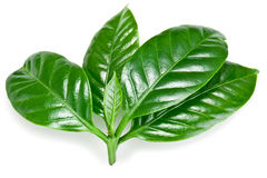 Green coffee leaves. Royalty Free Stock Photos