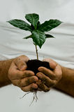 Green coffee plant. Hands taking green coffee plant Royalty Free Stock Photography